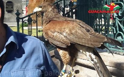 Hombre sosteniendo halcón para cetrería, control de palomas y plagas, sobre guante profesional de piel.