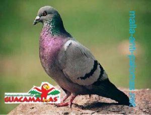 Las palomas se han convertido en plagas urbanas que afectan la producción agrícola y es por eso que hay que tomar medidas para proteger sus cultivos.